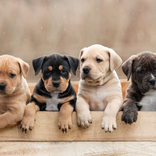 puppies standing up in box lookin over. different colours.